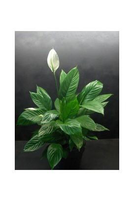 Plant in pot 1